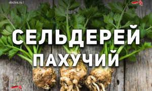 Сельдерей пахучий (Apium graveolens) — описание, выращивание, фото