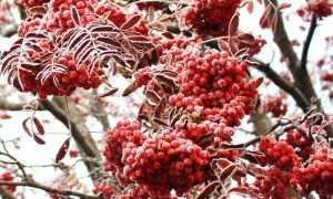 Рябина обыкновенная 'Рубиновая' — описание сорта, характеристики