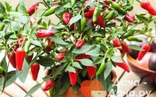 Перец кустарниковый 'Кармен' — описание сорта, характеристики