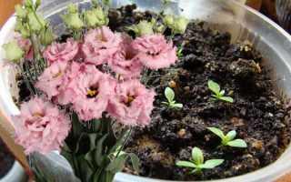 Выращивание эустомы из семян на рассаду — для дома или открытого грунта