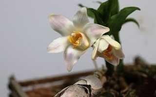 Трихопилия приятная (Trichopilia suavis) — описание, выращивание, фото