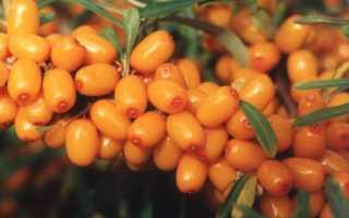 Облепиха 'Ботаническая' — описание сорта, характеристики
