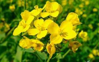 Горчица сарептская (Brassica juncea) — описание, выращивание, фото