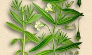 Авран лекарственный (Gratiola officinalis) — описание, выращивание, фото