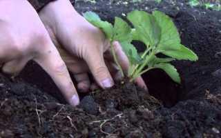 Посадка клубники весной – урожай на радость семье!