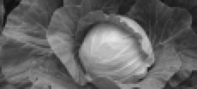 Капуста белокочанная 'Русиновка' — описание сорта, характеристики
