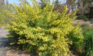 Смородина (Ribes) — описание, выращивание, фото