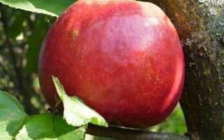 Яблоня 'Настенька' — описание сорта, характеристики