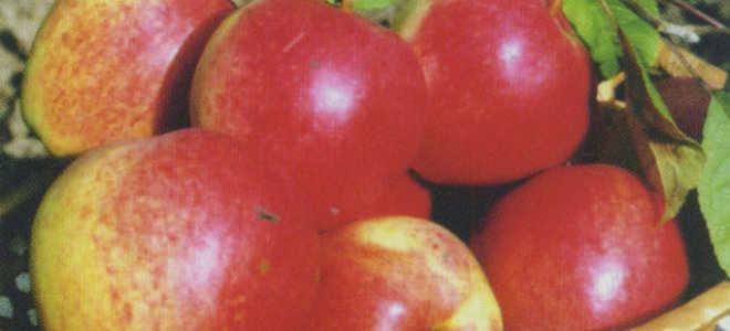 Яблоня 'Нижневолжское' — описание сорта, характеристики