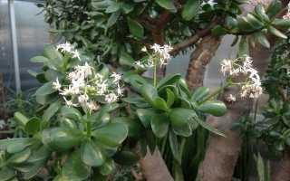 Толстянка пронзеннолистная (Crassula perfoliata) — описание, выращивание, фото
