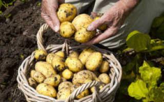Картофель 'Каратоп' — описание сорта, характеристики