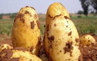 Картофель 'Белорусский 3' — описание сорта, характеристики
