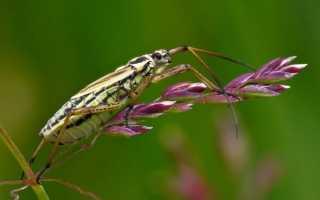 Клоп-слепняк — фото и описание насекомого