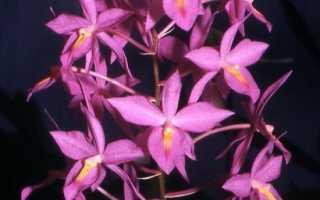 Баркерия баркериола (Barkeria barkeriola) — описание, выращивание, фото