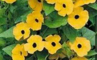 Тунбергия натальская (Thunbergia natalensis) — описание, выращивание, фото
