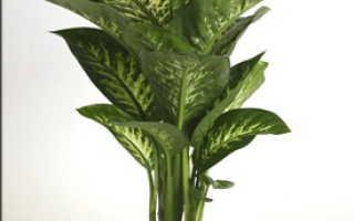 Диффенбахия пятнистая (Dieffenbachia maculata) — описание, выращивание, фото