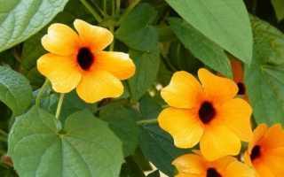 Тунбергия (Thunbergia) — описание, выращивание, фото