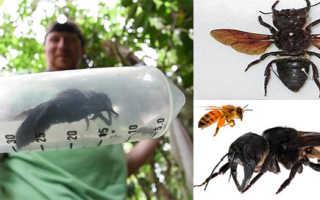 Пчела-листорез — как выглядит мегахила