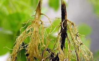Как излечить фузариоз растений