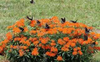 Ластовень кюрасавский (Asclepias curassavica) — описание, выращивание, фото