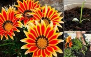 Выращиваем очаровательную гацанию: посадка и уход с фото и видео