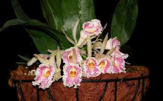 Трихопилия душистая (Trichopilia fragrans) — описание, выращивание, фото