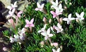 Ясменник Гуссона (Asperula gussonei) — описание, выращивание, фото
