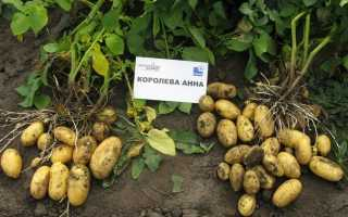 Картофель 'Аня' — описание сорта, характеристики