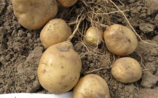 Картофель 'Никулинский' — описание сорта, характеристики