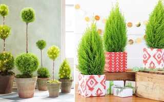 Тонкости ухода за домашними хвойными растениями