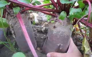 Выращиваем свеклу семенами в открытом грунте: варианты посадки зимой и весной
