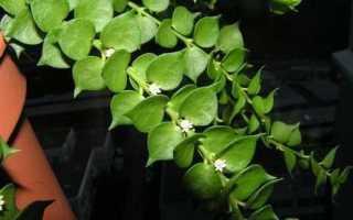 Дисхидия яйцевидная (Dischidia ovata) — описание, выращивание, фото