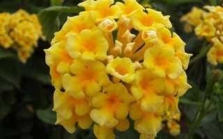 Лантана (Lantana) — описание, выращивание, фото