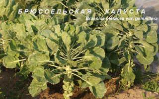Брюссельская капуста (Brassica oleracea var. Gemmifera) — описание, выращивание, фото