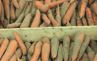 Как сохранить морковь зимой в погребе, квартире или подвале