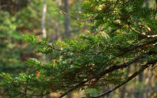 Тис — описание и характеристика дерева