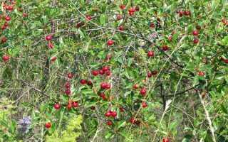 Вишня степная 'Алтайская ласточка' — описание сорта, характеристики