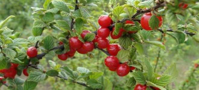 Вишня войлочная 'Осенняя вировская' — описание сорта, характеристики