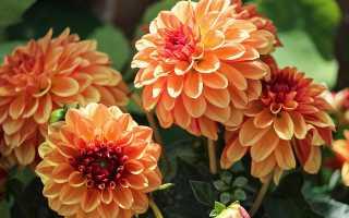 Лучшие сорта георгинов для цветников