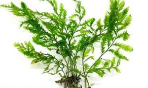 Болбитис гетероклита (Bolbitis heteroclita) — описание, выращивание, фото