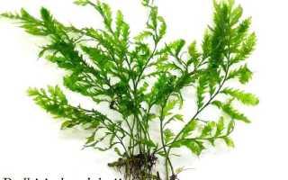 Болбитис Хедело (Bolbitis heudelotii) — описание, выращивание, фото