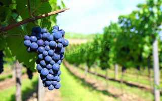 Виноград культурный 'Амурский Потапенко 2' — описание сорта, характеристики