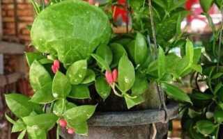 Дисхидия (Dischidia) — описание, выращивание, фото