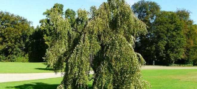 Багрянник японский (Cercidiphyllum japonicum) — описание, выращивание, фото