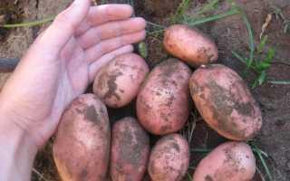 Картофель 'Розара' — описание сорта, характеристики