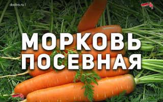 Морковь посевная (Daucus sativus) — описание, выращивание, фото