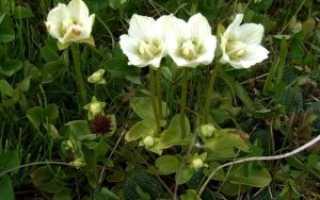 Белозор болотный (Parnassia palustris) — описание, выращивание, фото