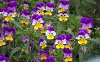 Фиалка рогатая (Viola cornuta) — описание, выращивание, фото