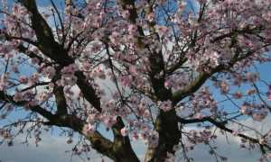 Миндаль обыкновенный (Prunus dulcis) — описание, выращивание, фото