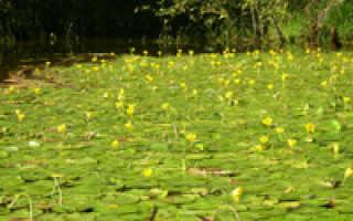 Болотноцветник корейский (Nymphoides coreana) — описание, выращивание, фото